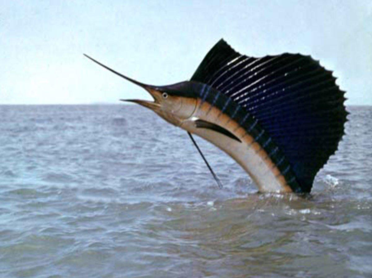 Sailfish Tournament Action